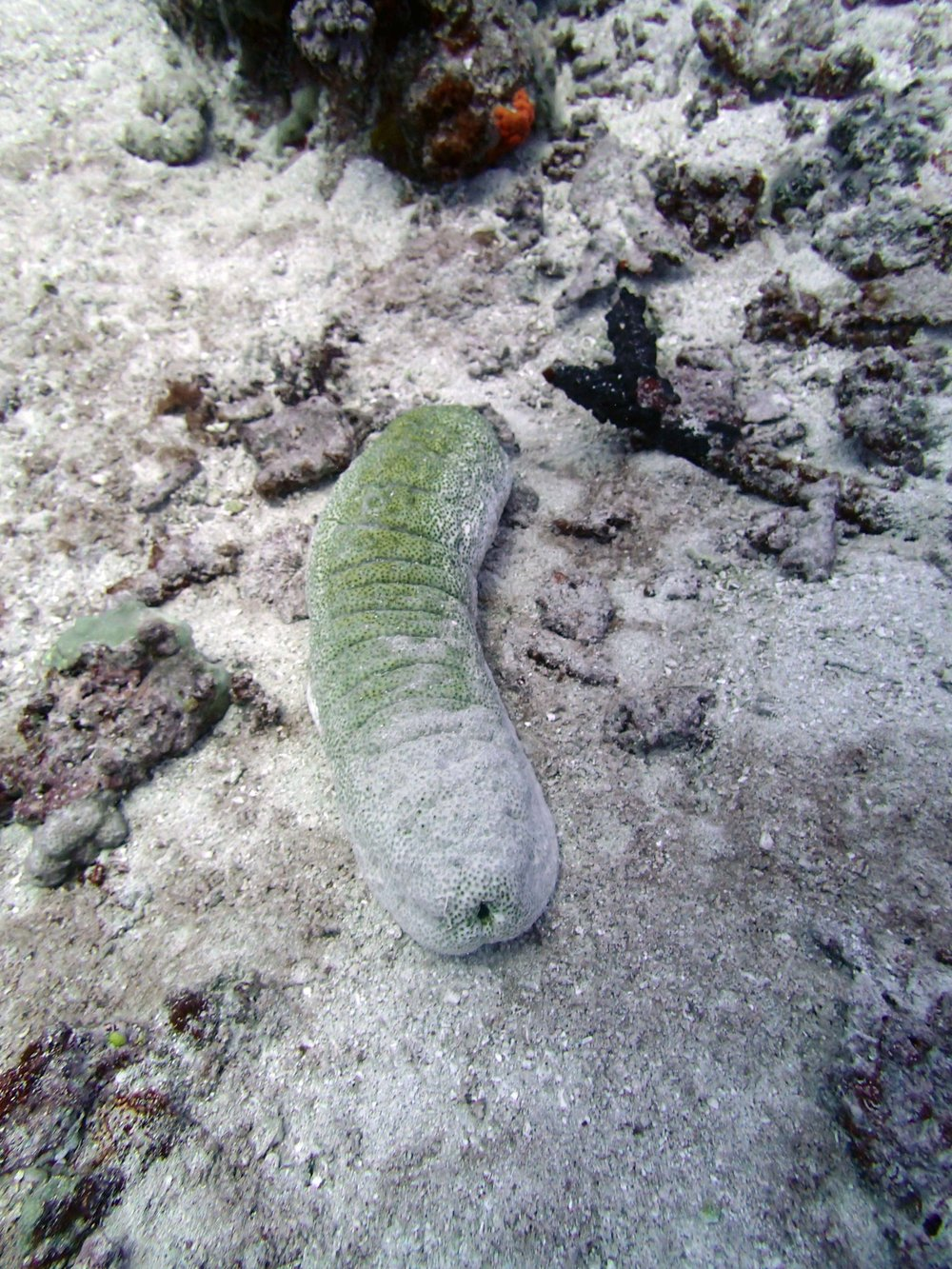 sea cucumber 3.jpg