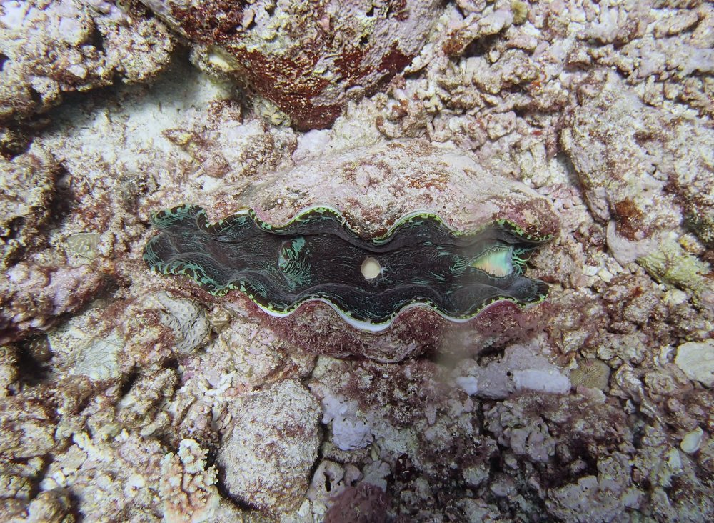 beautiful giant clam.jpg