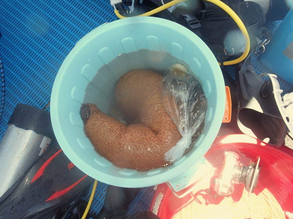 monster sea cucumber.jpg