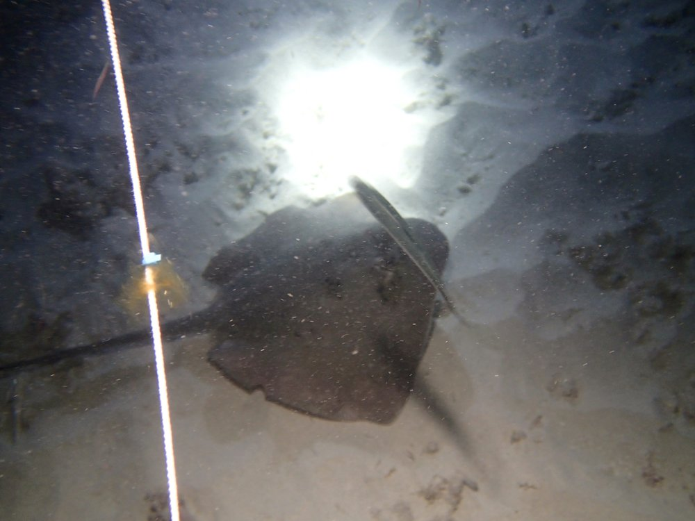 stingray at night dive site 3.jpg