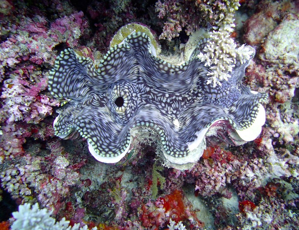 giant clam (2).jpg
