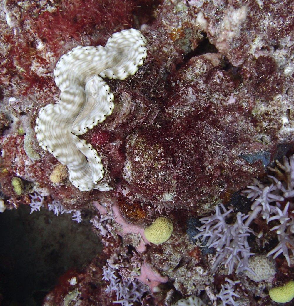 giant clam (1).jpg