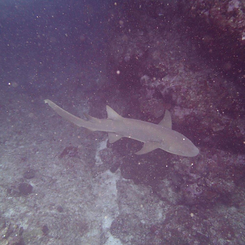 nurse shark (2).jpg
