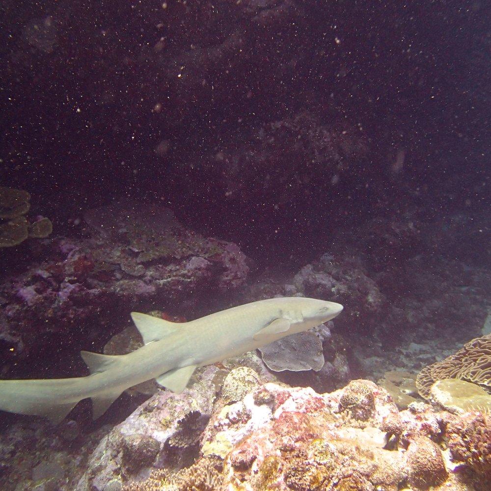 nurse shark (1).jpg