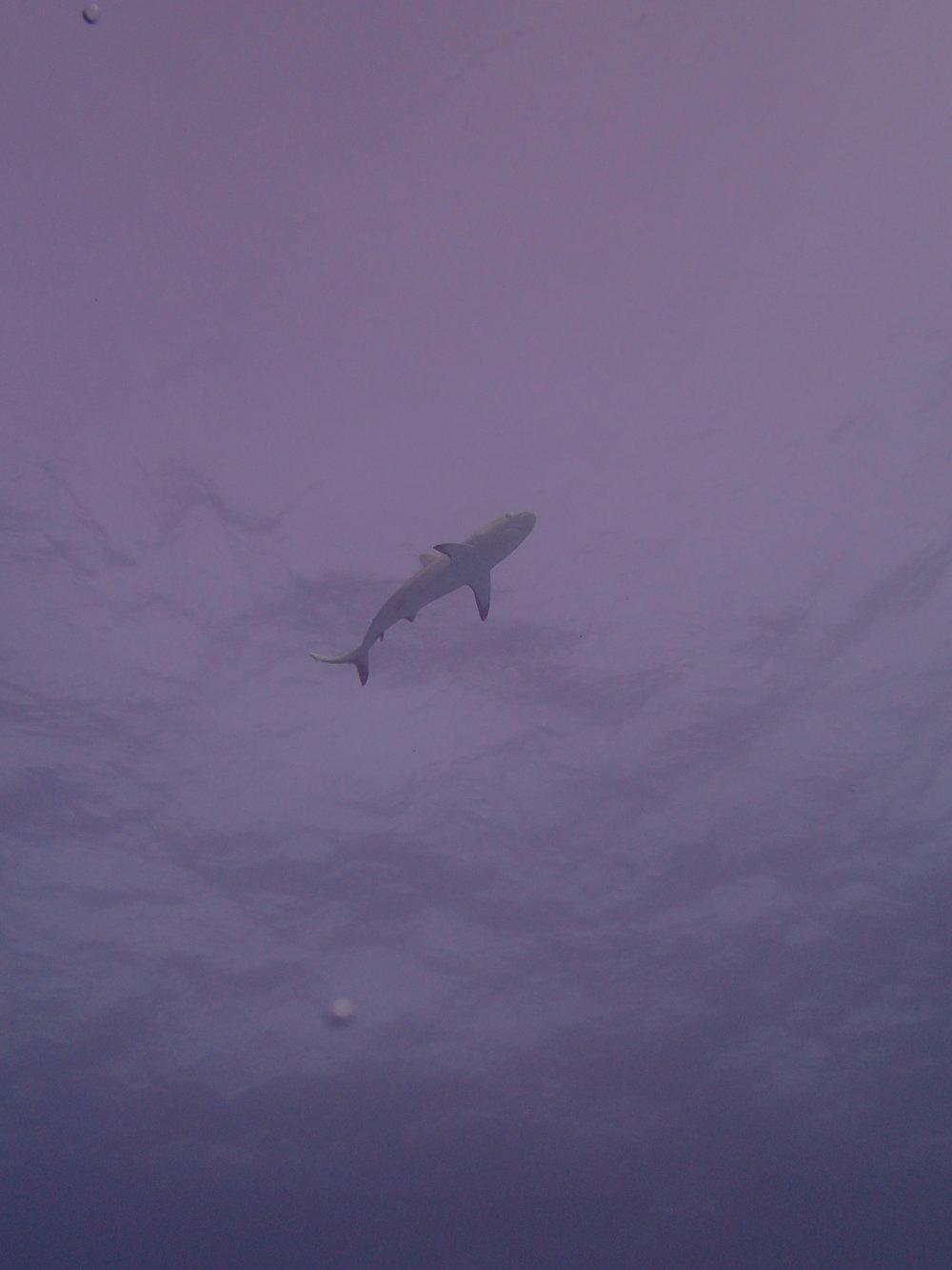 shark at NCCR35.jpg