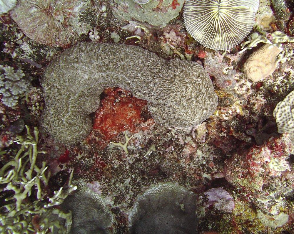 phallic coral.jpg
