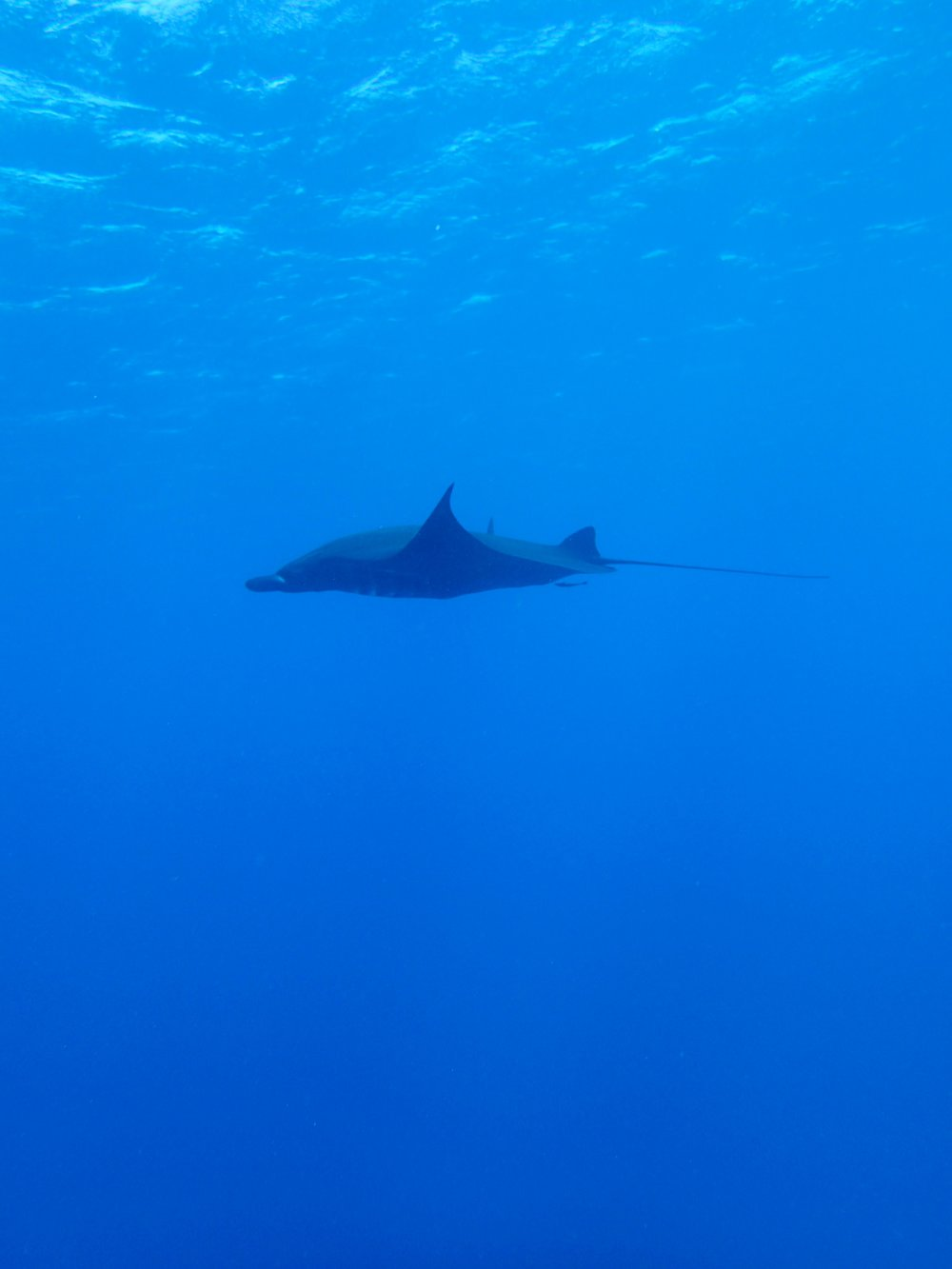manta ray (2).jpg