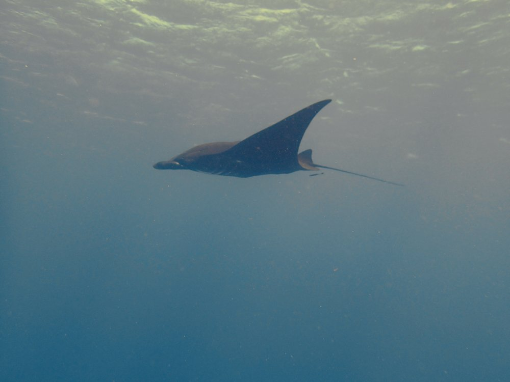 manta ray (3).jpg
