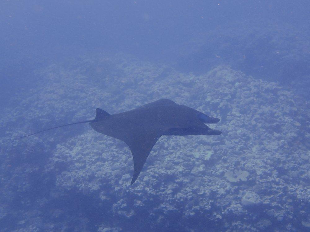 manta ray (6).jpg