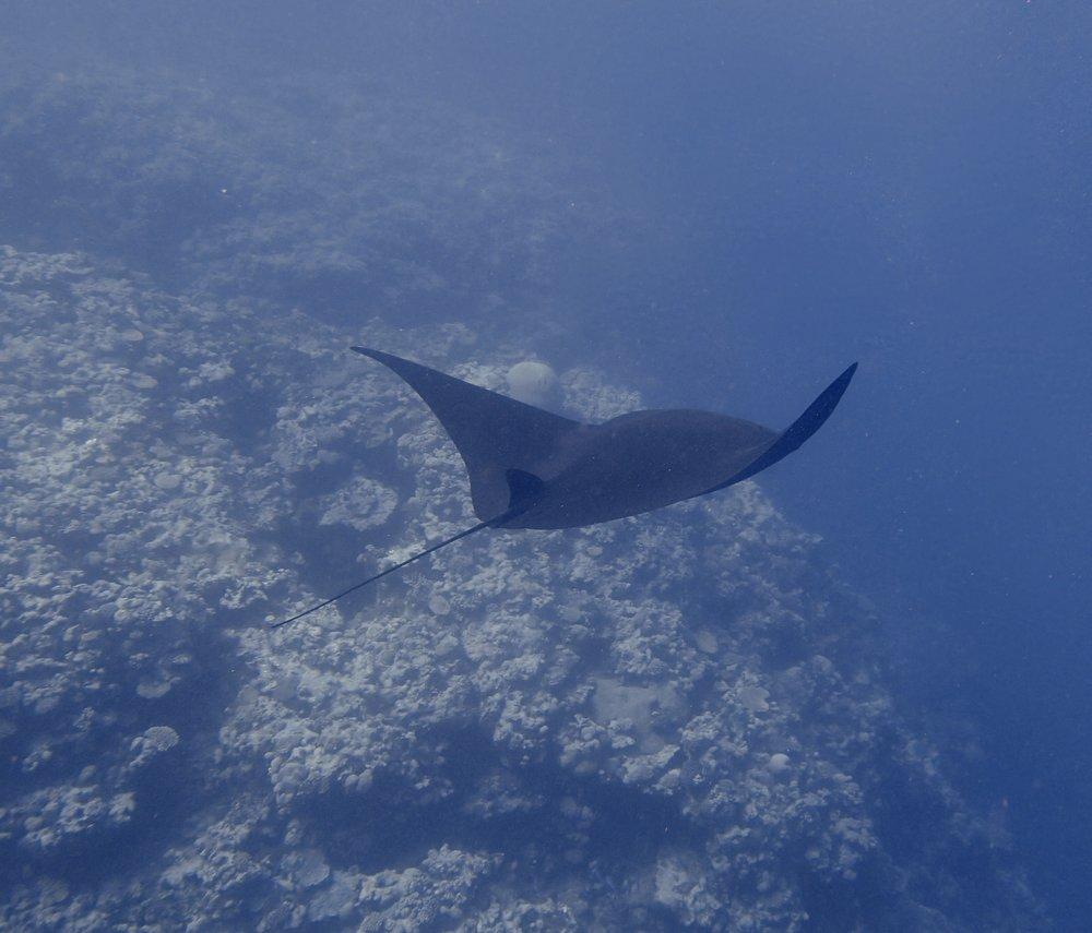 manta ray (7).jpg
