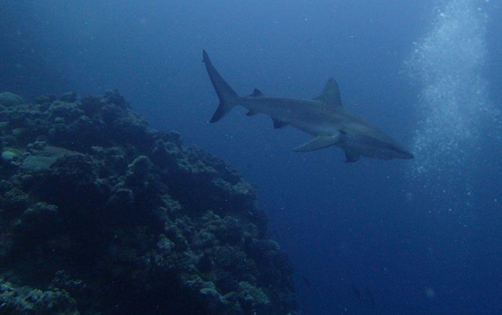 great shark shot.jpg