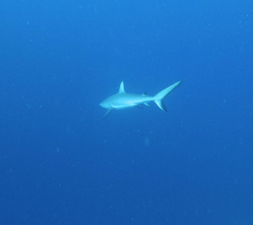grey reef shark.jpg