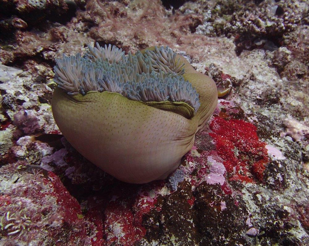 great anemone shot.jpg