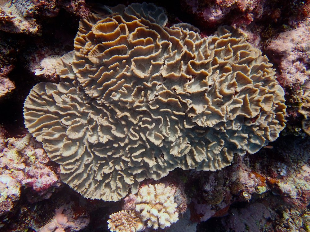 mystery coral.jpg