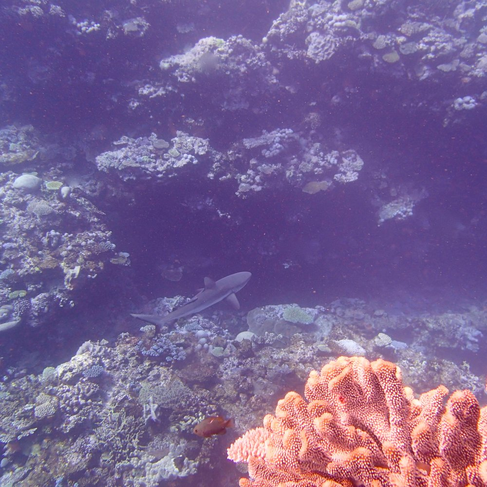 grey reef shark (1).jpg