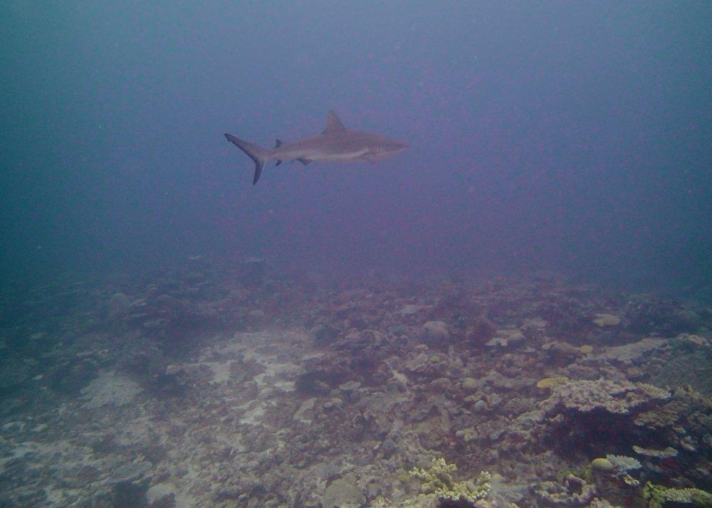 shark at NCHU60.jpg