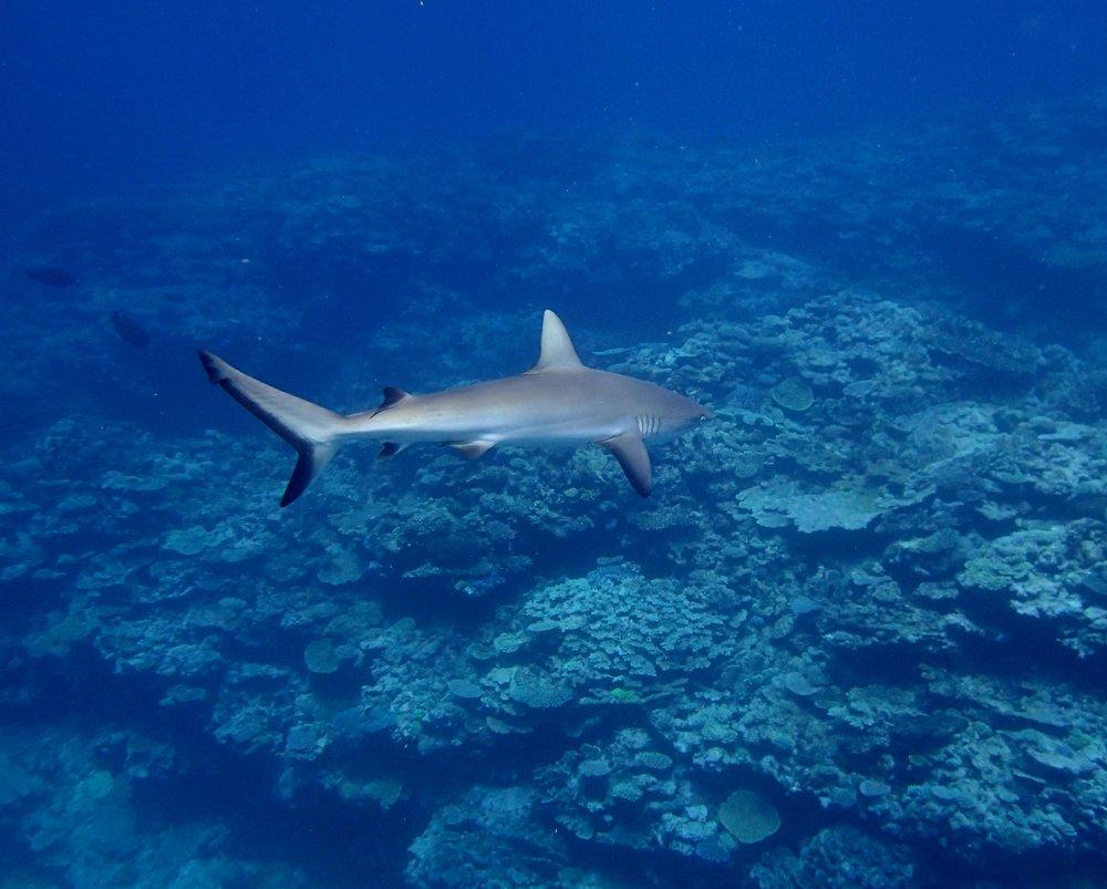 great shark shot (1).jpg