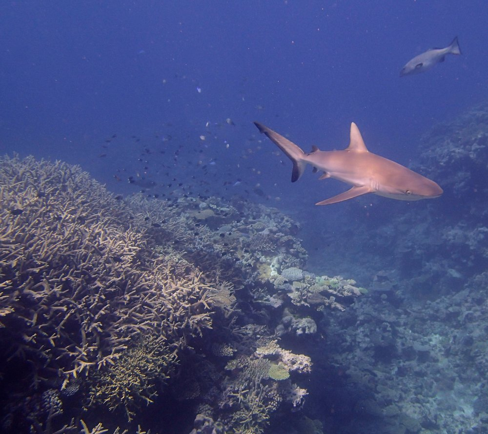 shark and acropora thicket (1).jpg
