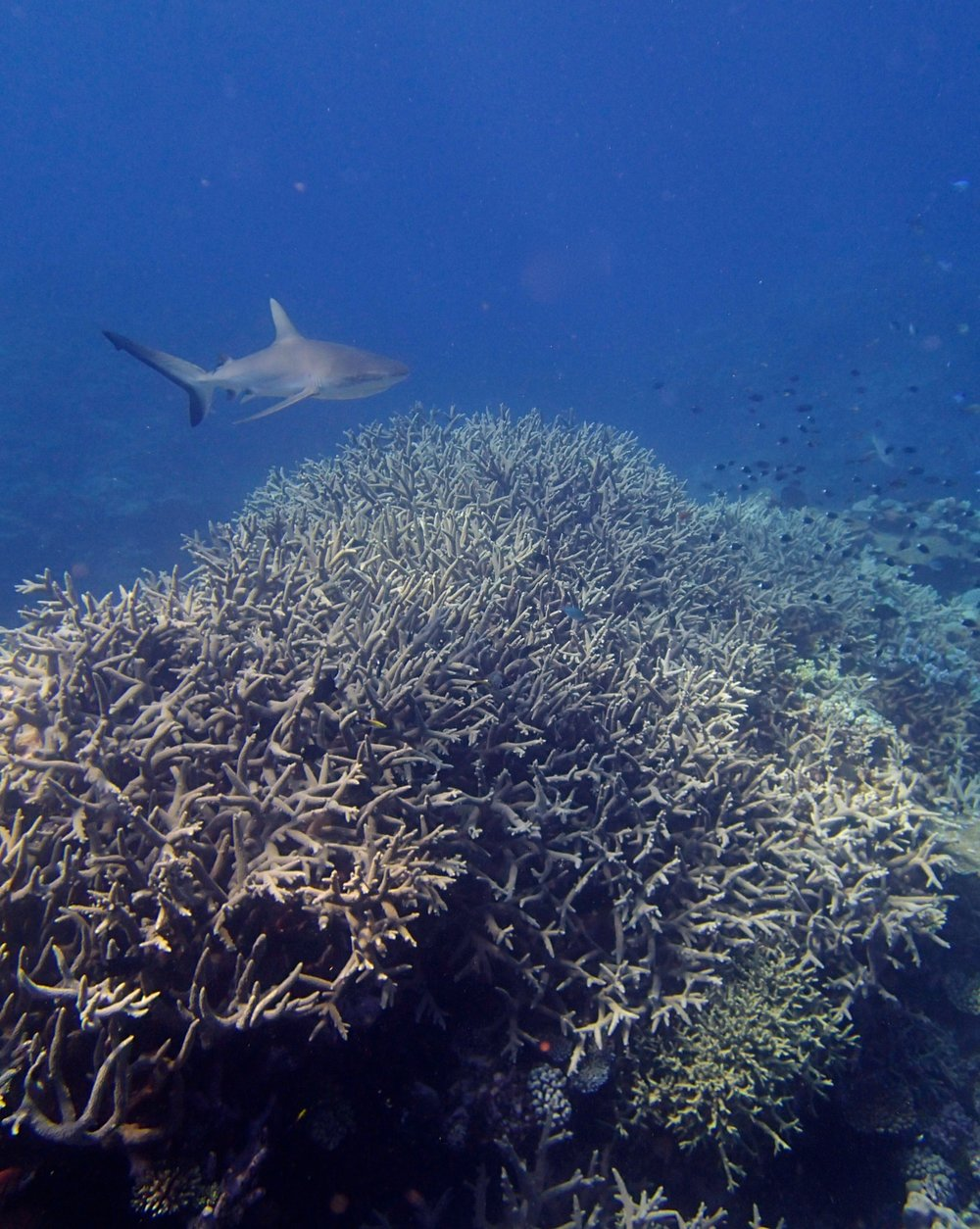 shark and acropora thicket.jpg