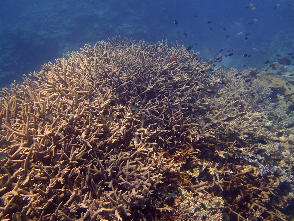 acropora thicket (1).jpg