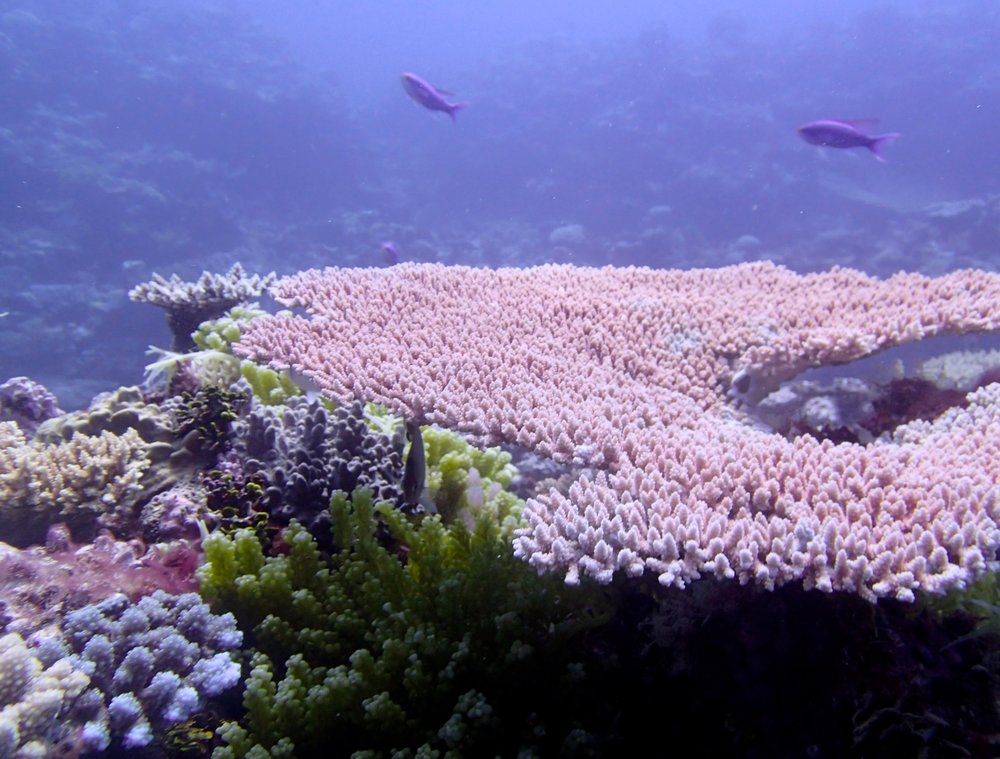 acropora table.jpg