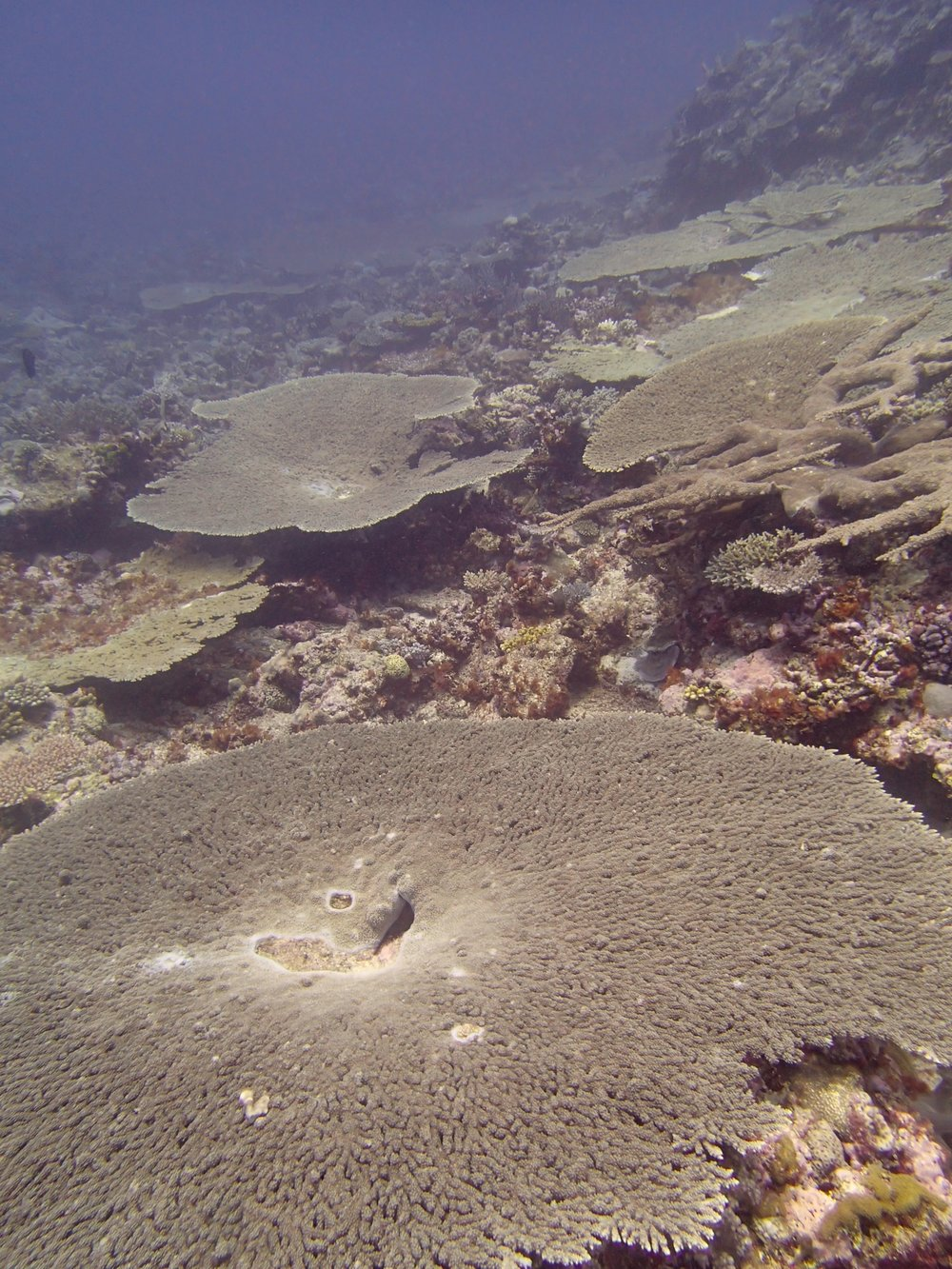 acropora tables.jpg