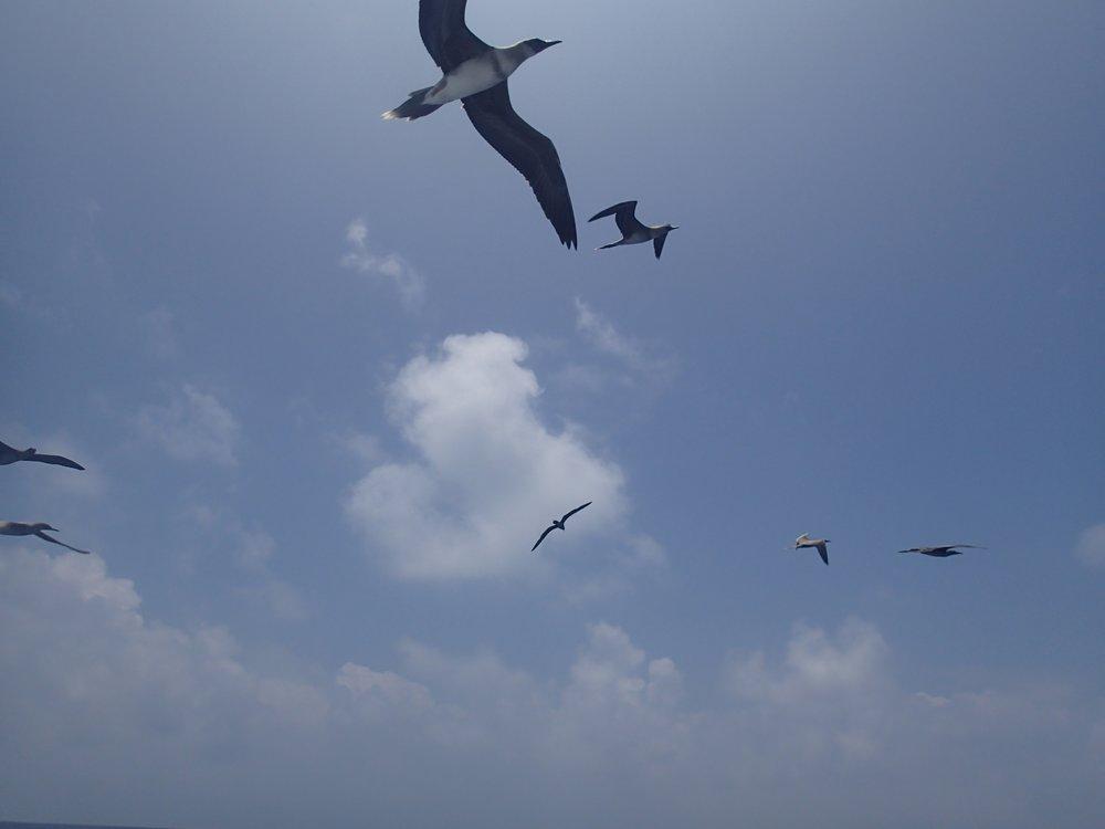frigate birds.jpg