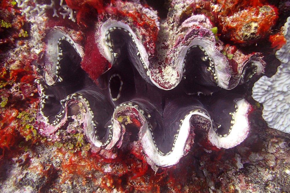 good giant clam shot.jpg