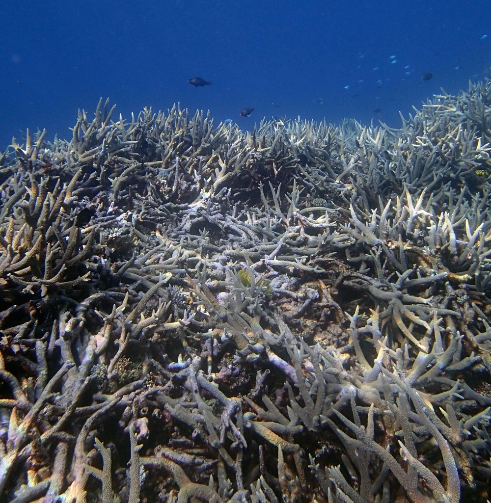good acropora thicket shot.jpg
