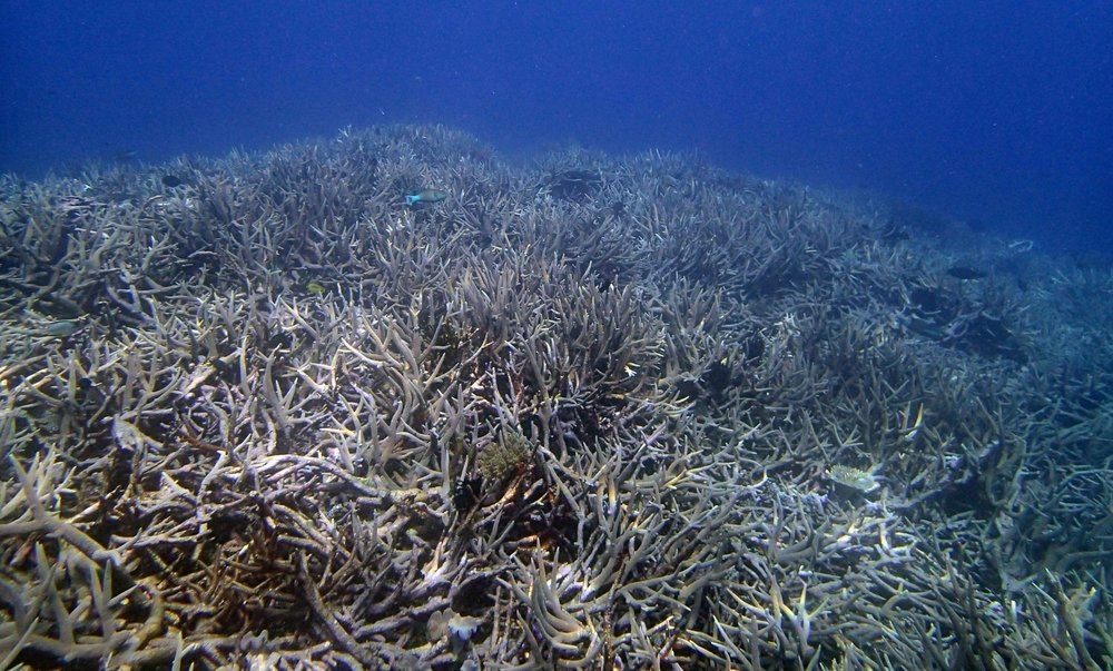 awesome acropora forest.jpg