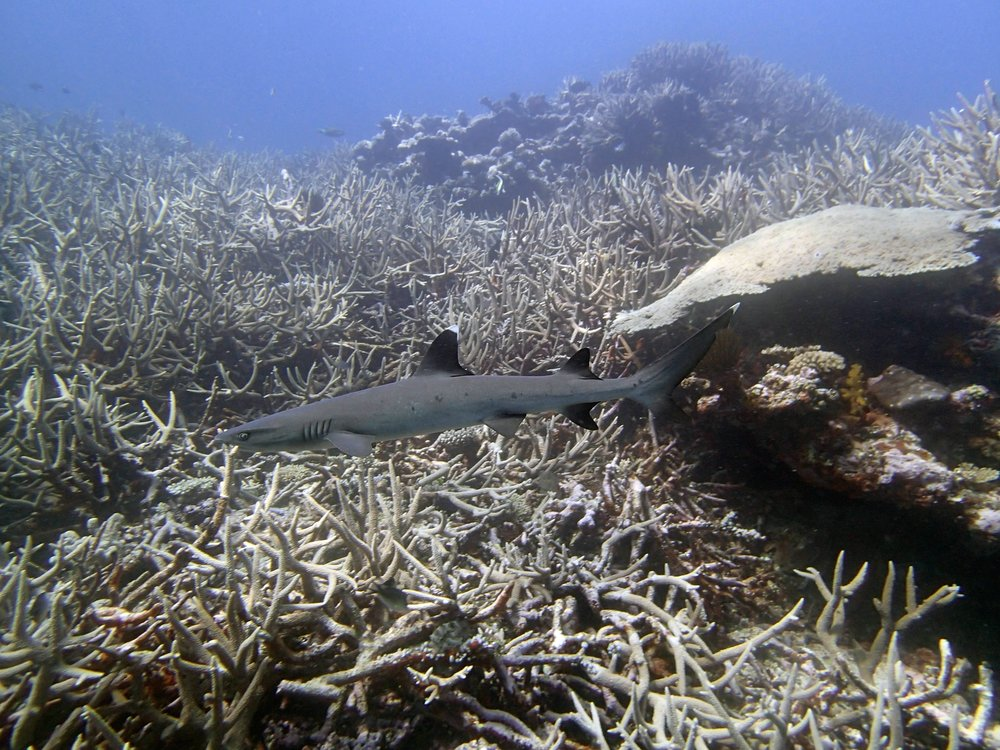 white tip in acropora meadow.jpg