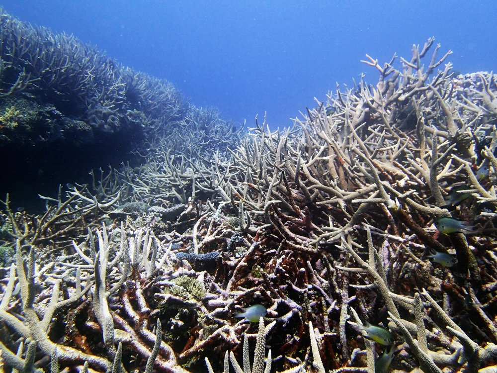 in the acropora thicket.jpg