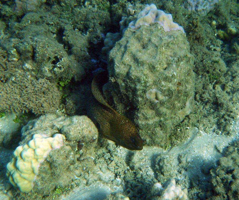 eel at Gump Reef.jpg