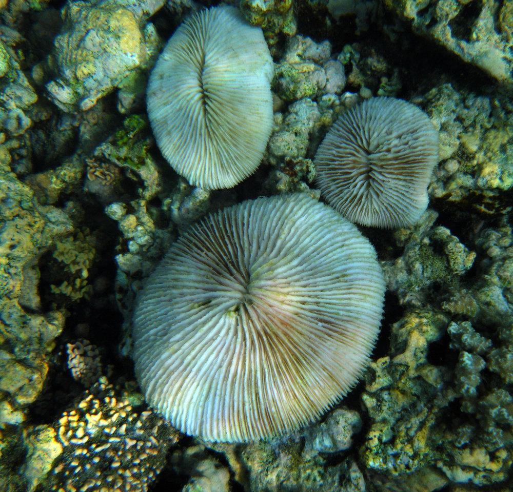 bleached Fungia.jpg