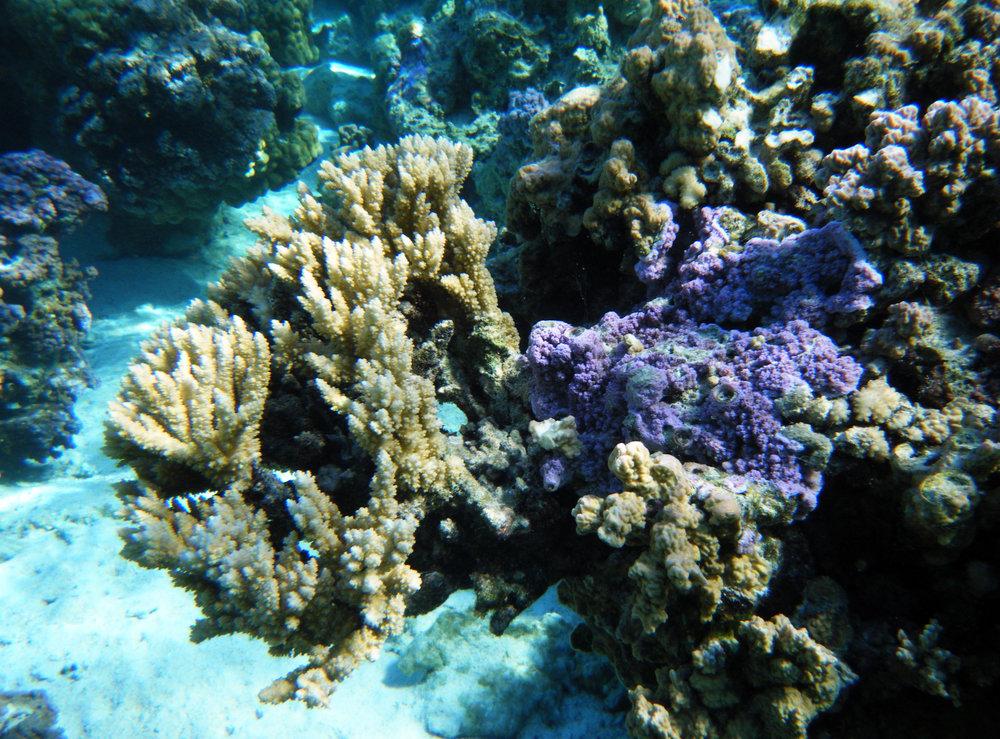 nice hard coral at Temae.jpg