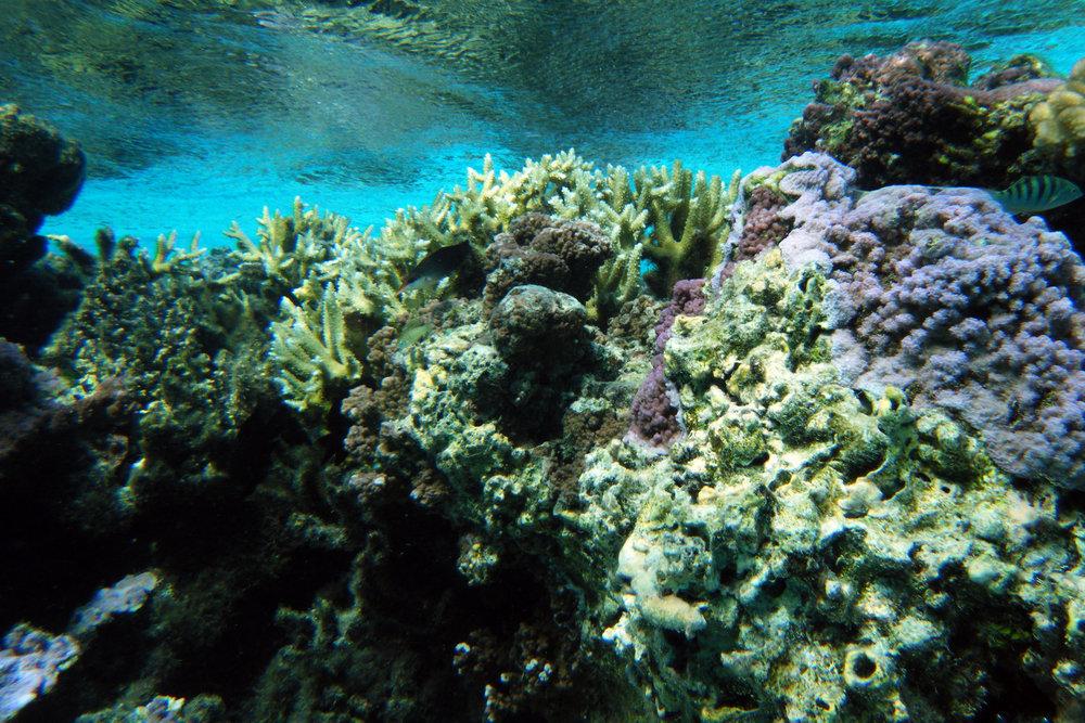 reef crest at Temae.jpg