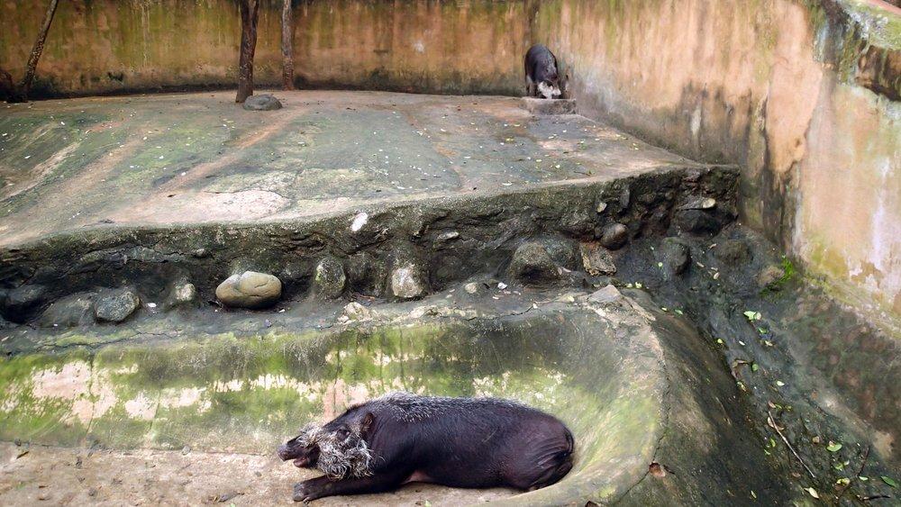 friendly pigs.jpg