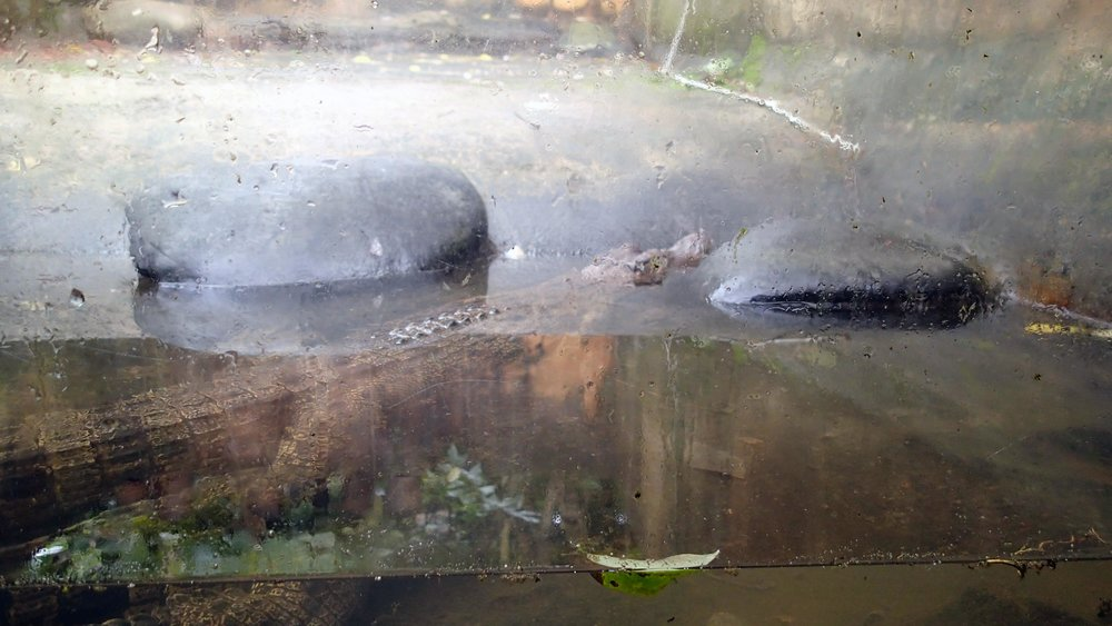 Crocodile @ butterfly garden.jpg