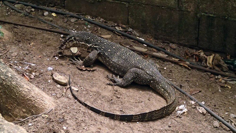 mini Komodo dragon.jpg