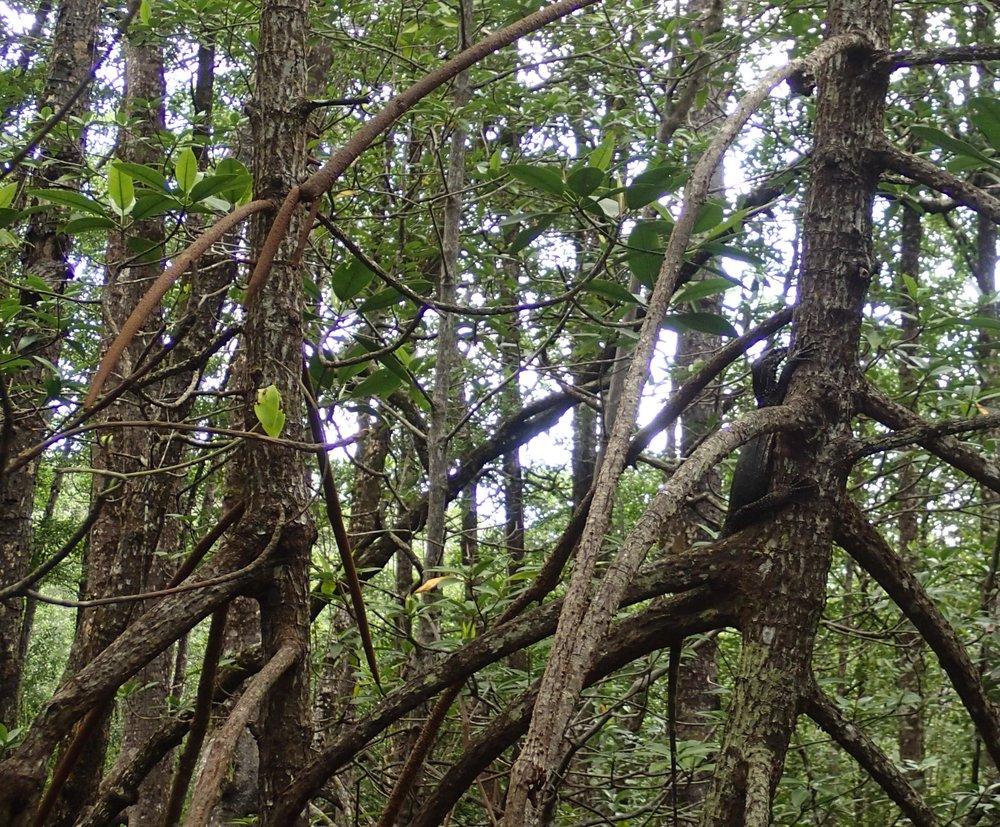 monitor lizard in tree.jpg
