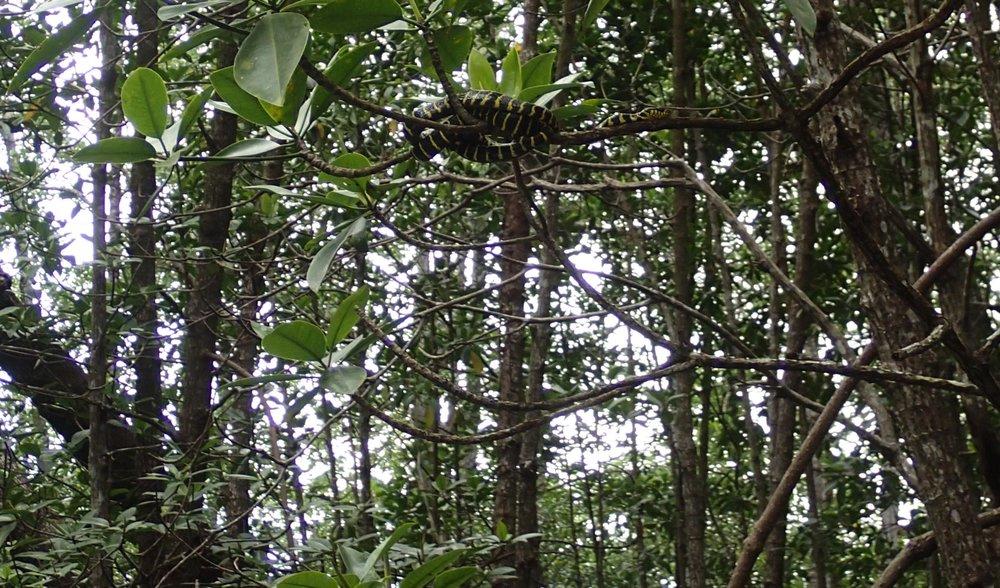 mangrove snake 2.jpg
