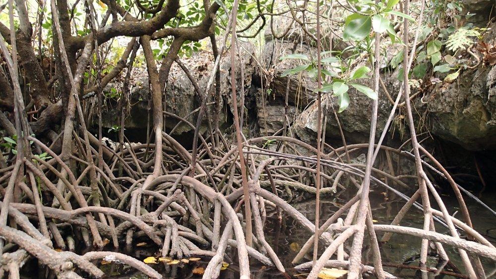 Big Lagoon mangroves.jpg