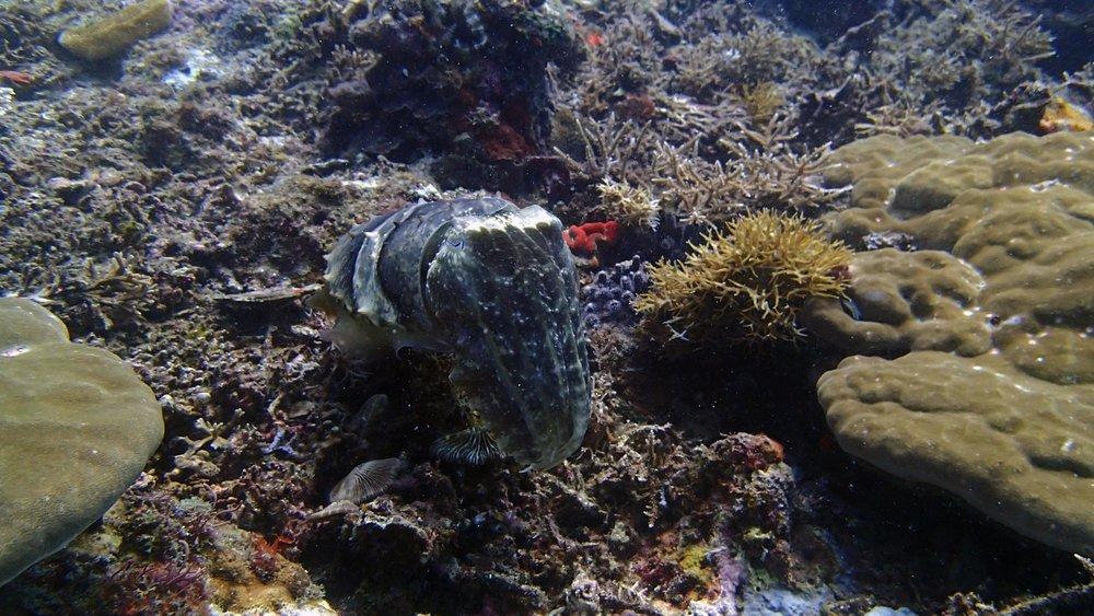 beautiful cuttlefish.jpg