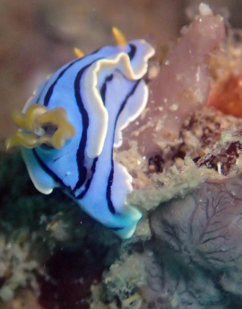 nudibranch at Nat Nat.jpg