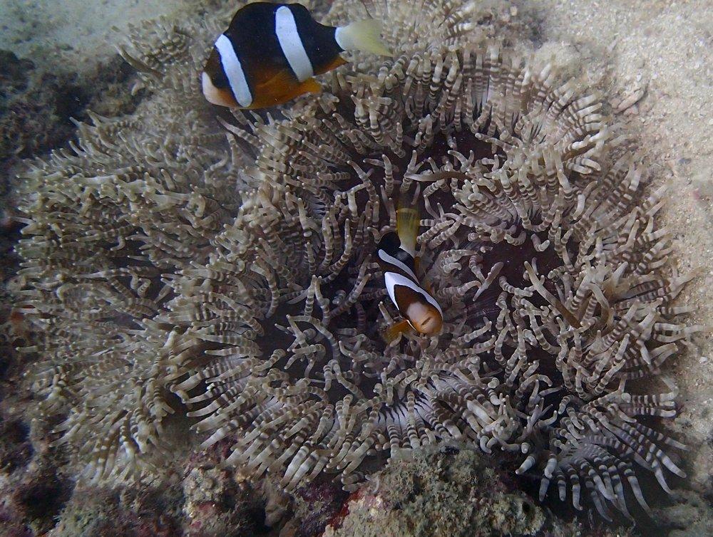 huge anemone.jpg