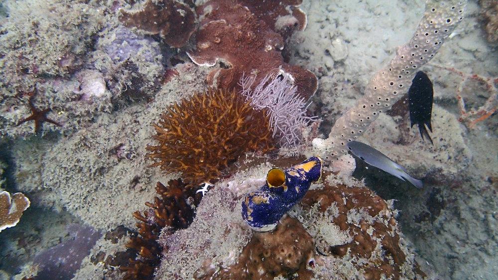 P. acuta at Coral Gardens.jpg