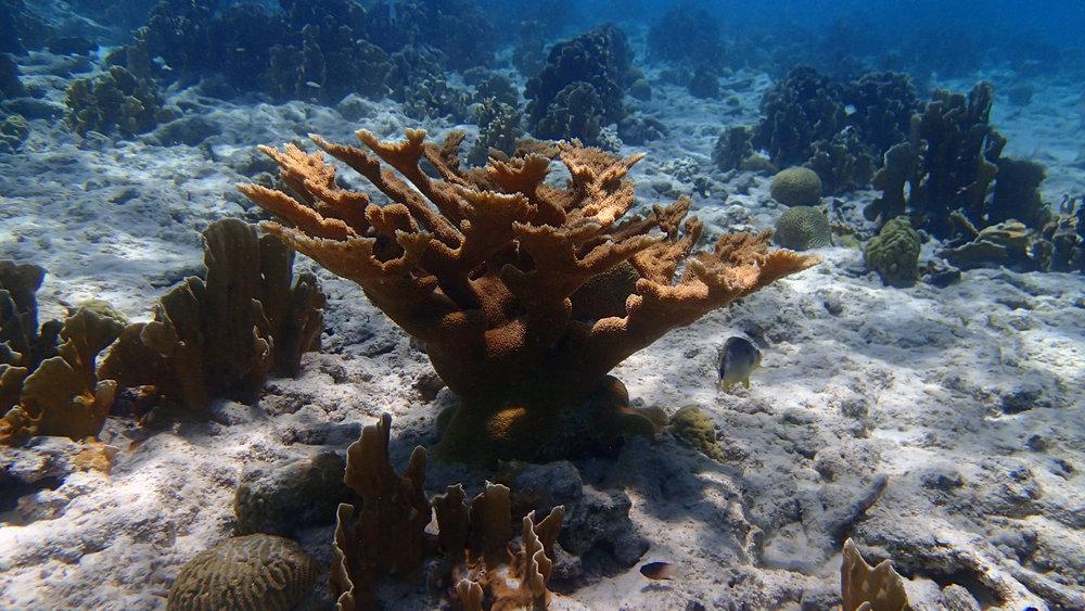 Acropora palmata.jpg