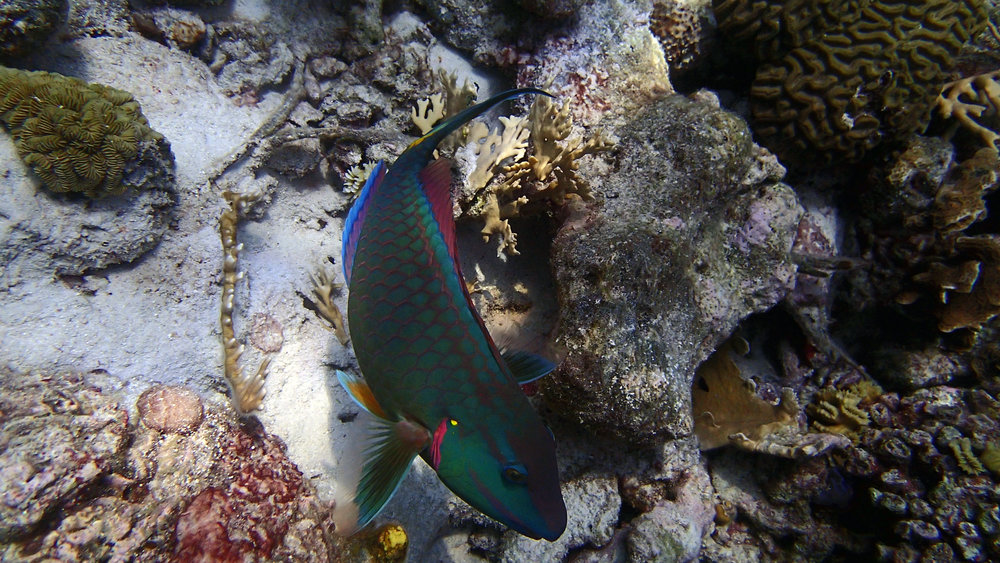 friendly parrotfish.jpg