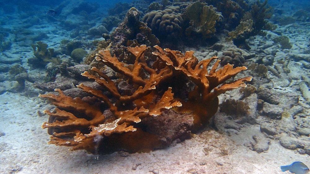 A. palmata.jpg