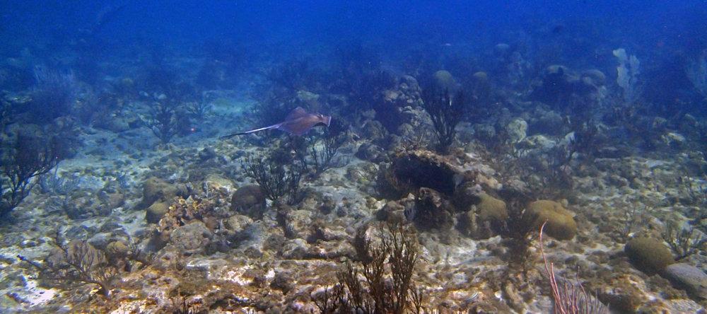 Caribbean stingray.jpg